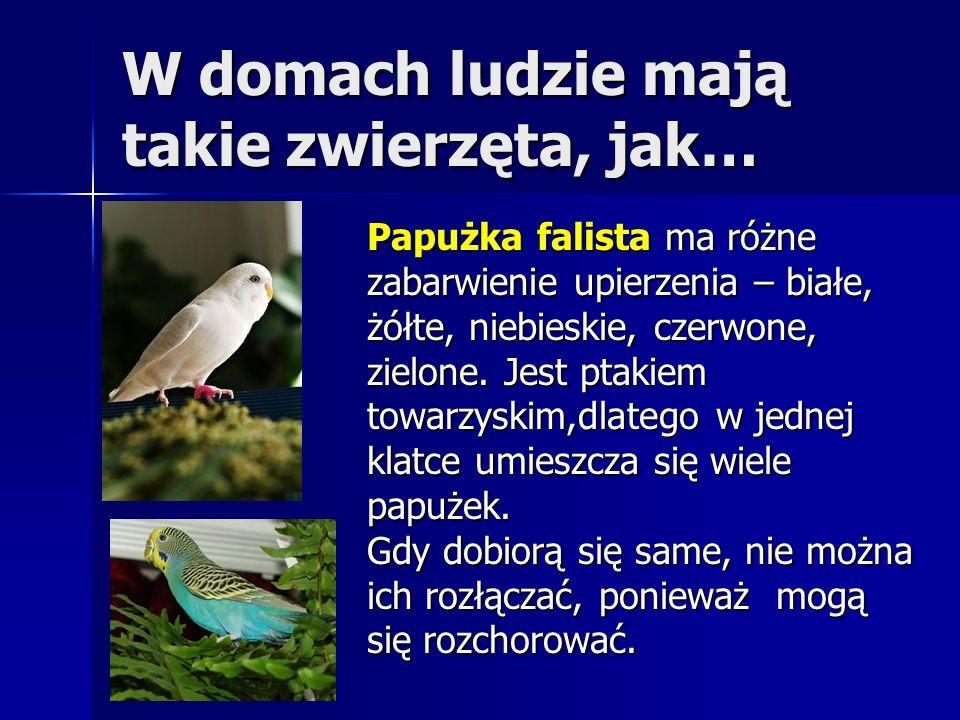 W domach ludzie mają takie zwierzęta, jak… Papużka falista ma różne zabarwienie upierzenia – białe, żółte, niebieskie, czerwone, zielone. Jest ptakiem