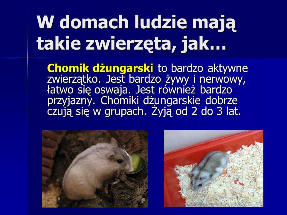 W domach ludzie mają takie zwierzęta, jak… Chomik dżungarski to bardzo aktywne zwierzątko. Jest bardzo żywy i nerwowy, łatwo się oswaja. Jest również