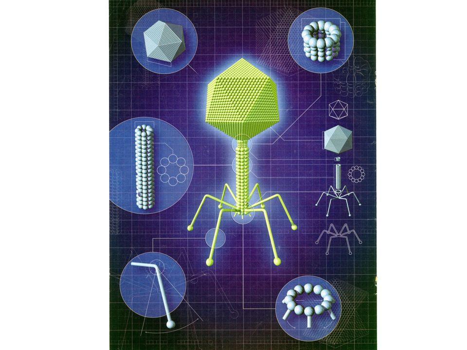 W PROCESIE SYNTEZY BIAŁKA RYBOSOM PRZYŁĄCZA SIĘ MNIEJSZĄ PODJEDNOSTKĄ DO NICI INFORMACYJ- NEGO RNA (mRNA) i PRZESUWAJĄC SIĘ WZDŁUŻ NIEJ BUDUJE ŁAŃCUCH BIAŁKOWY, PRZYŁĄCZAJĄC DO NIEGO KOLEJNE AMINOKWASY PRZYNOSZONE PRZEZ TRANSPORTUJĄCY RNA (tRNA Z CYTOPLAZMY.