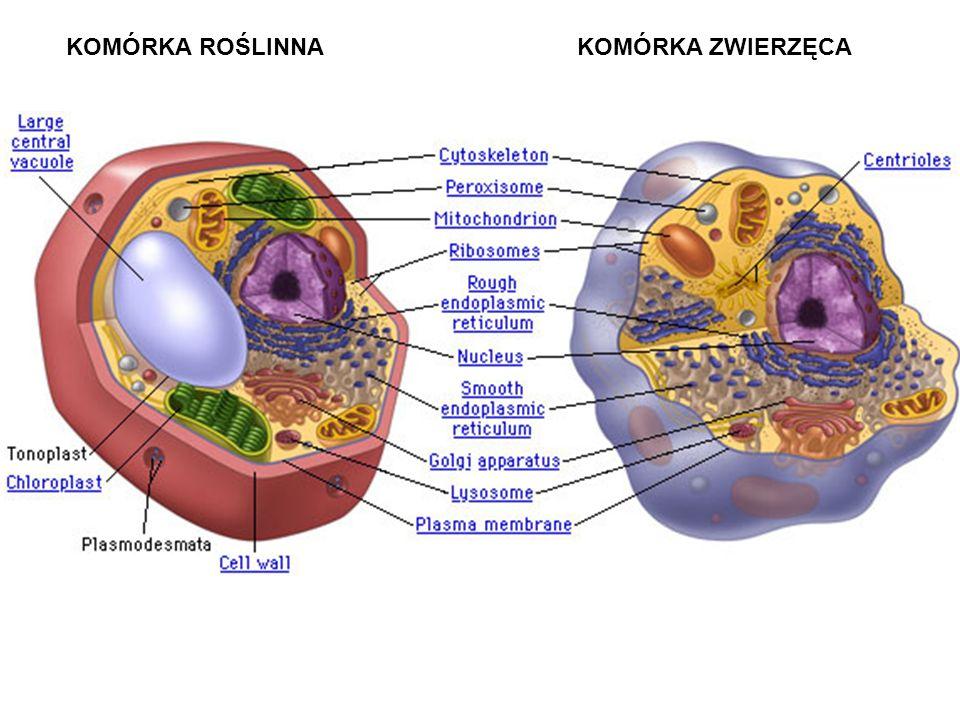 DUŻA i MAŁA PODJEDNOSTKA RYBOSOMU NIĆ mRNA