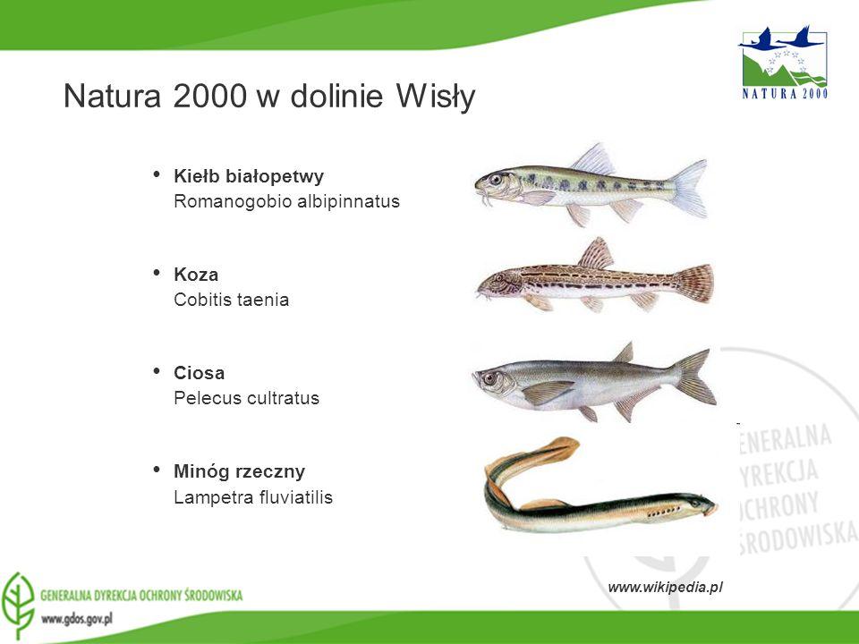 www.gdos.gov.pl Natura 2000 w dolinie Wisły Kiełb białopetwy Romanogobio albipinnatus Koza Cobitis taenia Ciosa Pelecus cultratus Minóg rzeczny Lampet