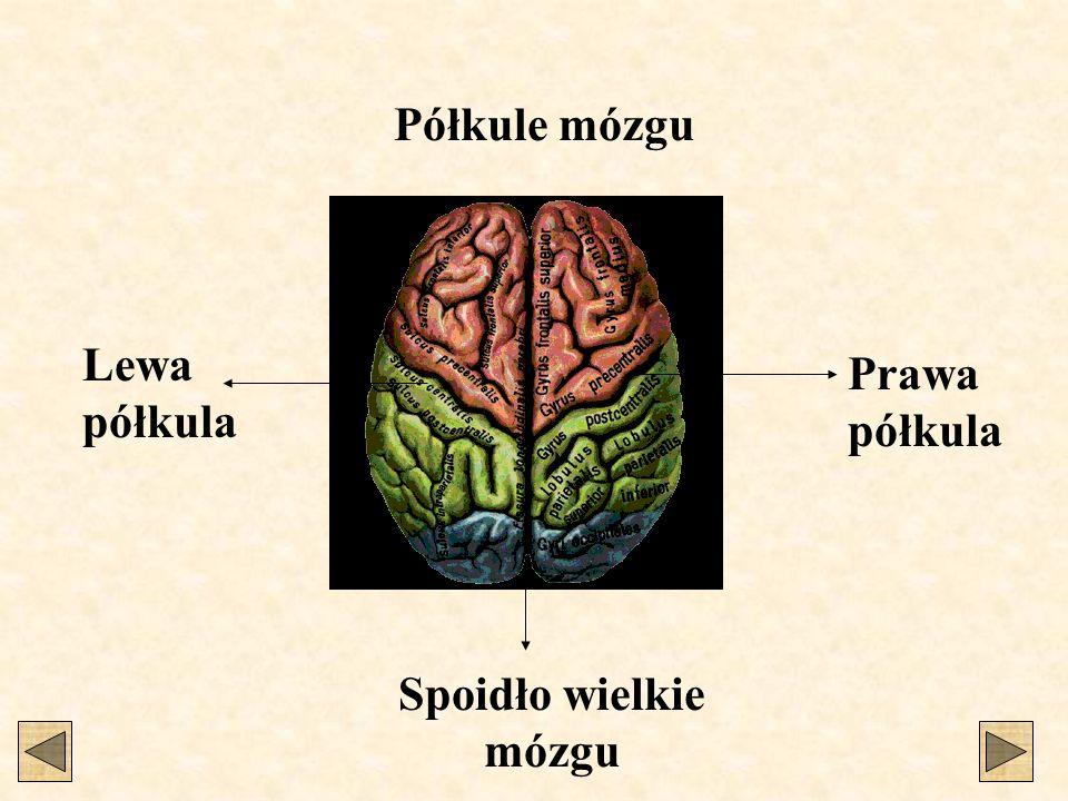 Spoidło wielkie mózgu Lewa półkula Prawa półkula Półkule mózgu
