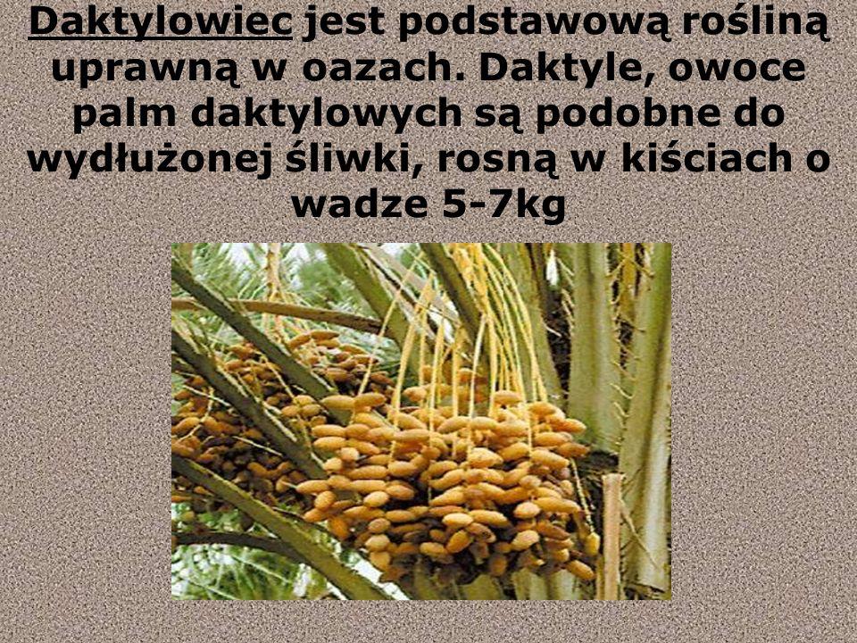 Daktylowiec jest podstawową rośliną uprawną w oazach.