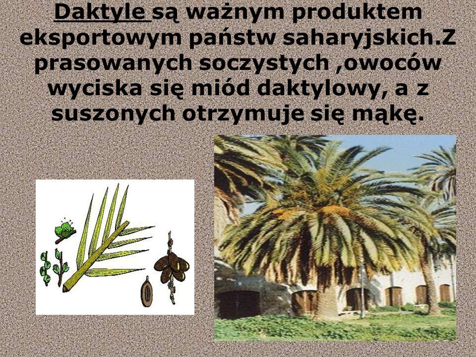 Daktyle są ważnym produktem eksportowym państw saharyjskich.Z prasowanych soczystych,owoców wyciska się miód daktylowy, a z suszonych otrzymuje się mąkę.
