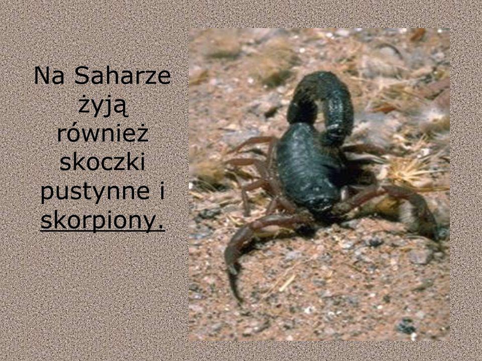 Na Saharze żyją również skoczki pustynne i skorpiony.