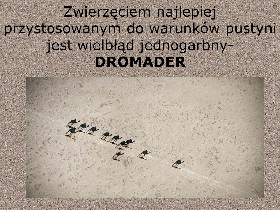 Zwierzęciem najlepiej przystosowanym do warunków pustyni jest wielbłąd jednogarbny- DROMADER