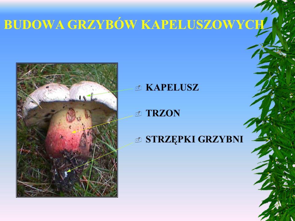 Temat: Grzyby polskich lasów. Dzieżka pomarańczowa