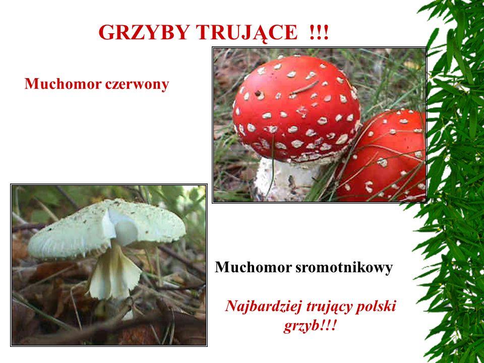 GRZYBY TRUJĄCE !!! Muchomor czerwony Muchomor sromotnikowy Najbardziej trujący polski grzyb!!!