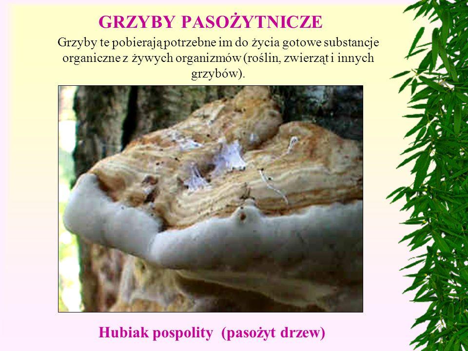 Grzyby te pobierają potrzebne im do życia gotowe substancje organiczne z żywych organizmów (roślin, zwierząt i innych grzybów).