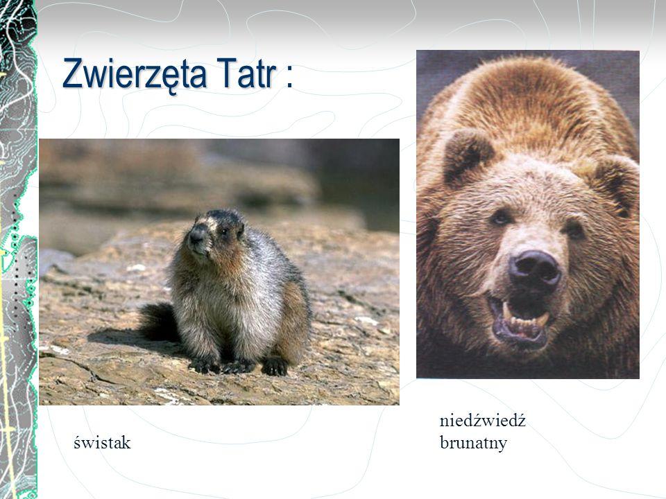 Zwierzęta Tatr Zwierzęta Tatr : świstak niedźwiedź brunatny