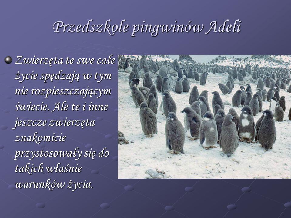 Przedszkole pingwinów Adeli Zwierzęta te swe całe życie spędzają w tym nie rozpieszczającym świecie. Ale te i inne jeszcze zwierzęta znakomicie przyst