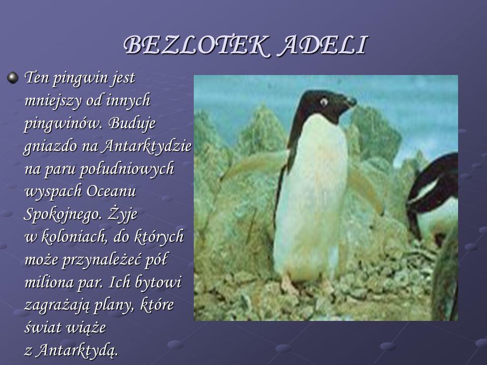 BEZLOTEK ADELI Ten pingwin jest mniejszy od innych pingwinów. Buduje gniazdo na Antarktydzie na paru południowych wyspach Oceanu Spokojnego. Żyje w ko
