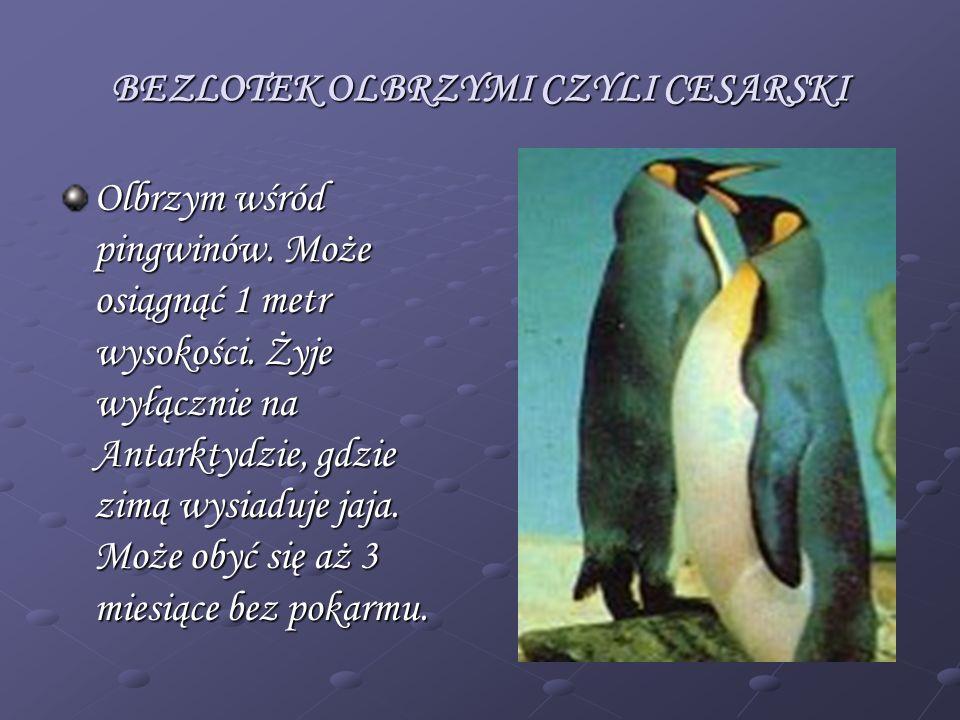BEZLOTEK OLBRZYMI CZYLI CESARSKI Olbrzym wśród pingwinów. Może osiągnąć 1 metr wysokości. Żyje wyłącznie na Antarktydzie, gdzie zimą wysiaduje jaja. M