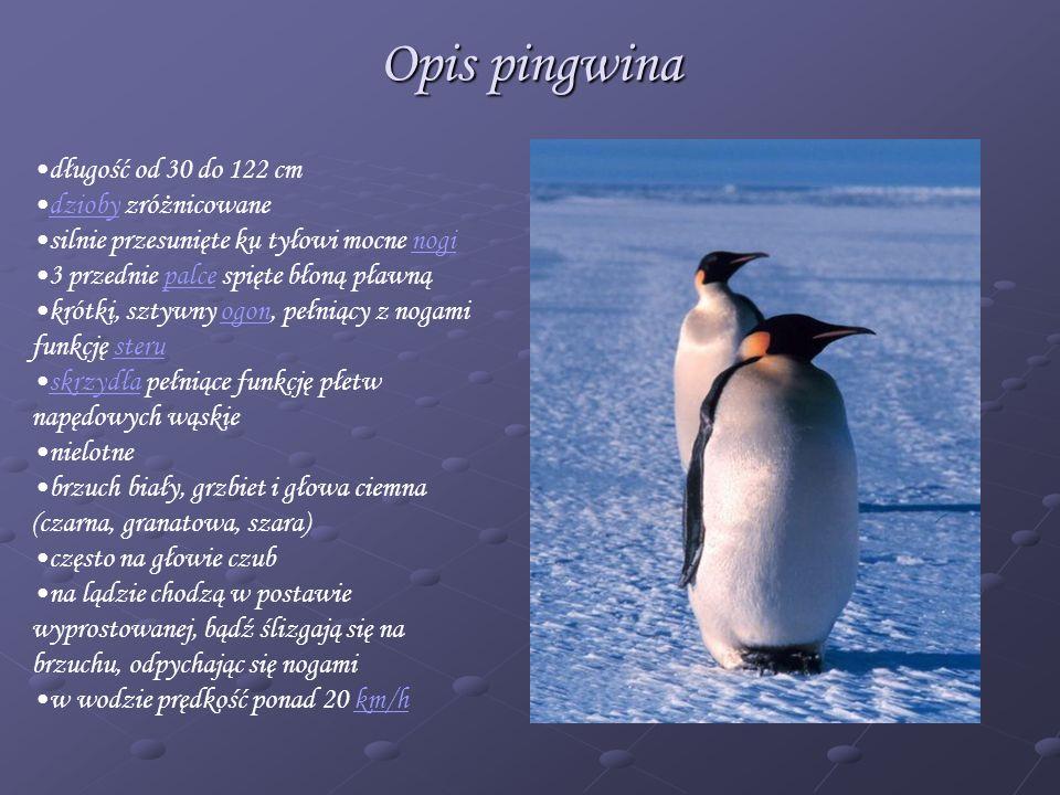 Opis pingwina długość od 30 do 122 cm dzioby zróżnicowanedzioby silnie przesunięte ku tyłowi mocne noginogi 3 przednie palce spięte błoną pławnąpalce