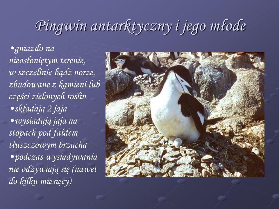 Pingwin antarktyczny i jego młode gniazdo na nieosłoniętym terenie, w szczelinie bądź norze, zbudowane z kamieni lub części zielonych roślin składają
