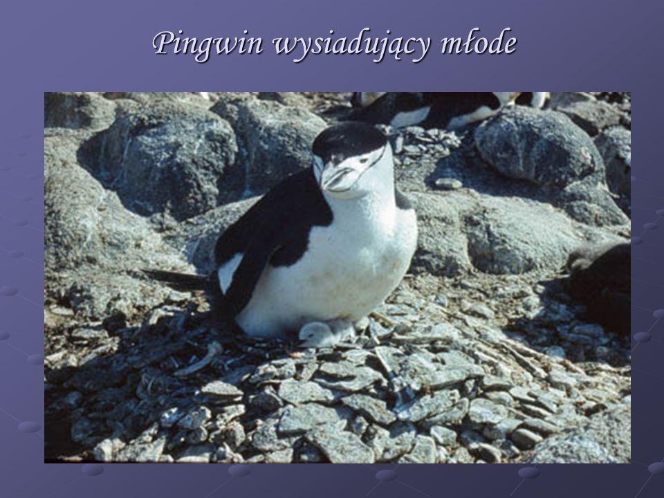 Pingwin wysiadujący młode