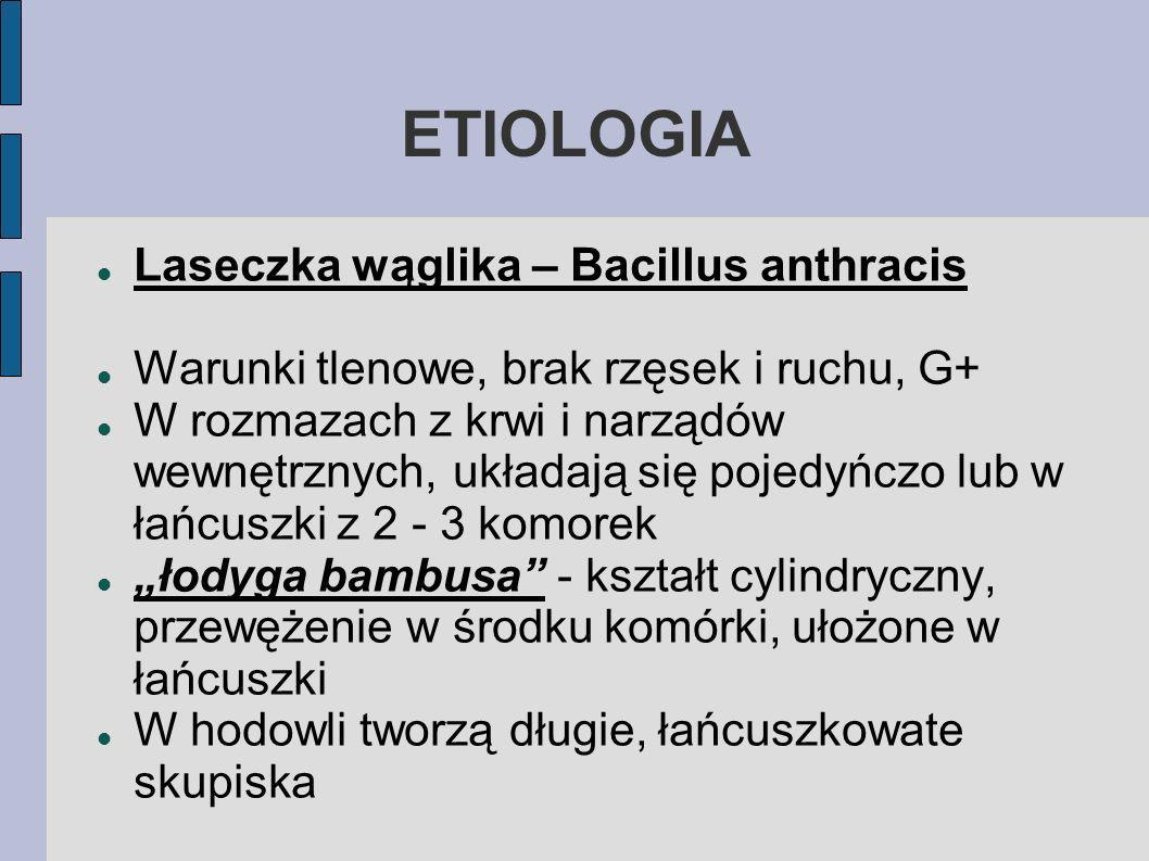 ETIOLOGIA Laseczka wąglika – Bacillus anthracis Warunki tlenowe, brak rzęsek i ruchu, G+ W rozmazach z krwi i narządów wewnętrznych, układają się poje