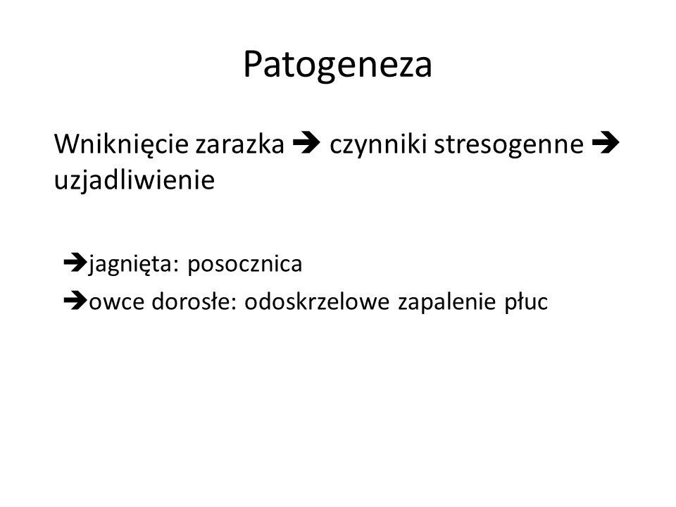 Patogeneza Wniknięcie zarazka czynniki stresogenne uzjadliwienie jagnięta: posocznica owce dorosłe: odoskrzelowe zapalenie płuc