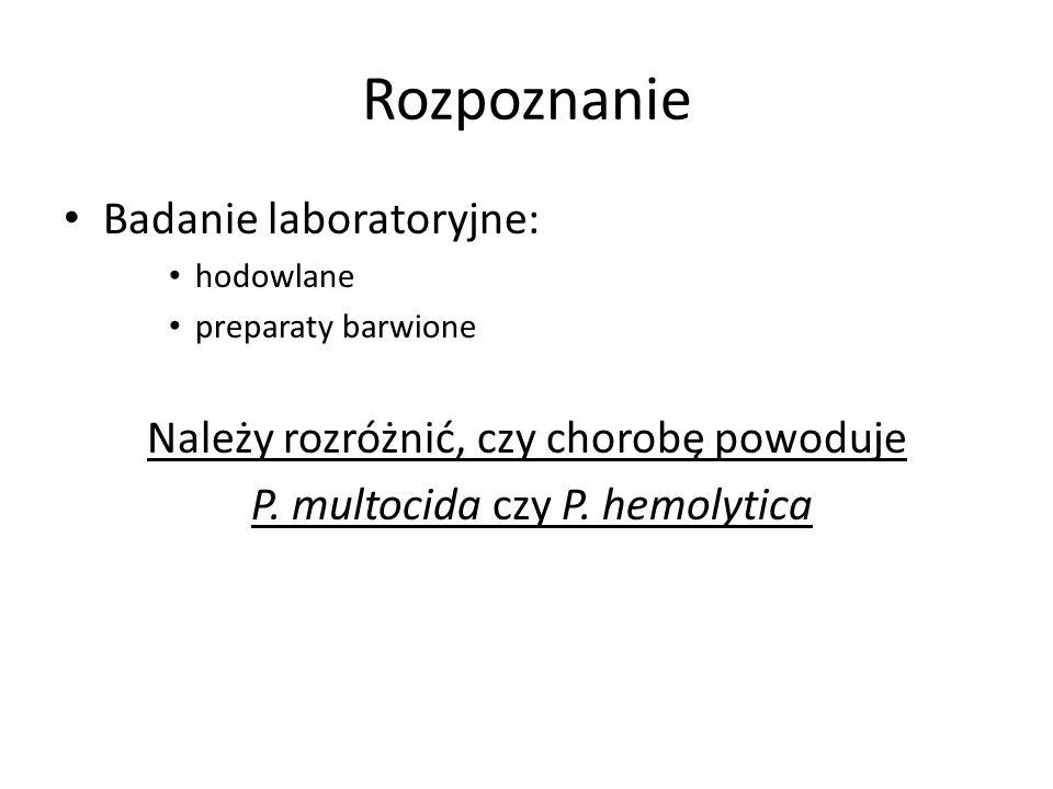 Rozpoznanie Badanie laboratoryjne: hodowlane preparaty barwione Należy rozróżnić, czy chorobę powoduje P. multocida czy P. hemolytica