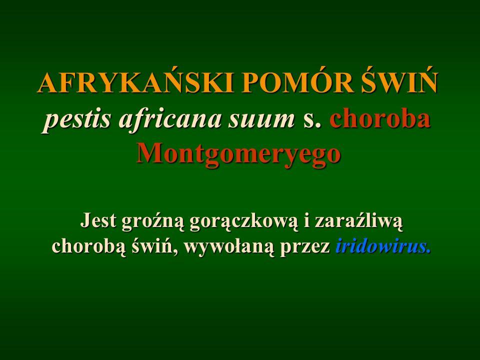 AFRYKAŃSKI POMÓR ŚWIŃ pestis africana suum s. choroba Montgomeryego Jest groźną gorączkową i zaraźliwą chorobą świń, wywołaną przez iridowirus.