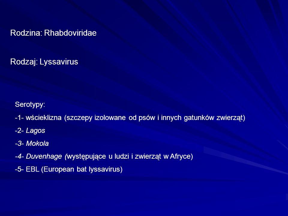 Rodzina: Rhabdoviridae Rodzaj: Lyssavirus Serotypy: -1- wścieklizna (szczepy izolowane od psów i innych gatunków zwierząt) -2- Lagos -3- Mokola -4- Du