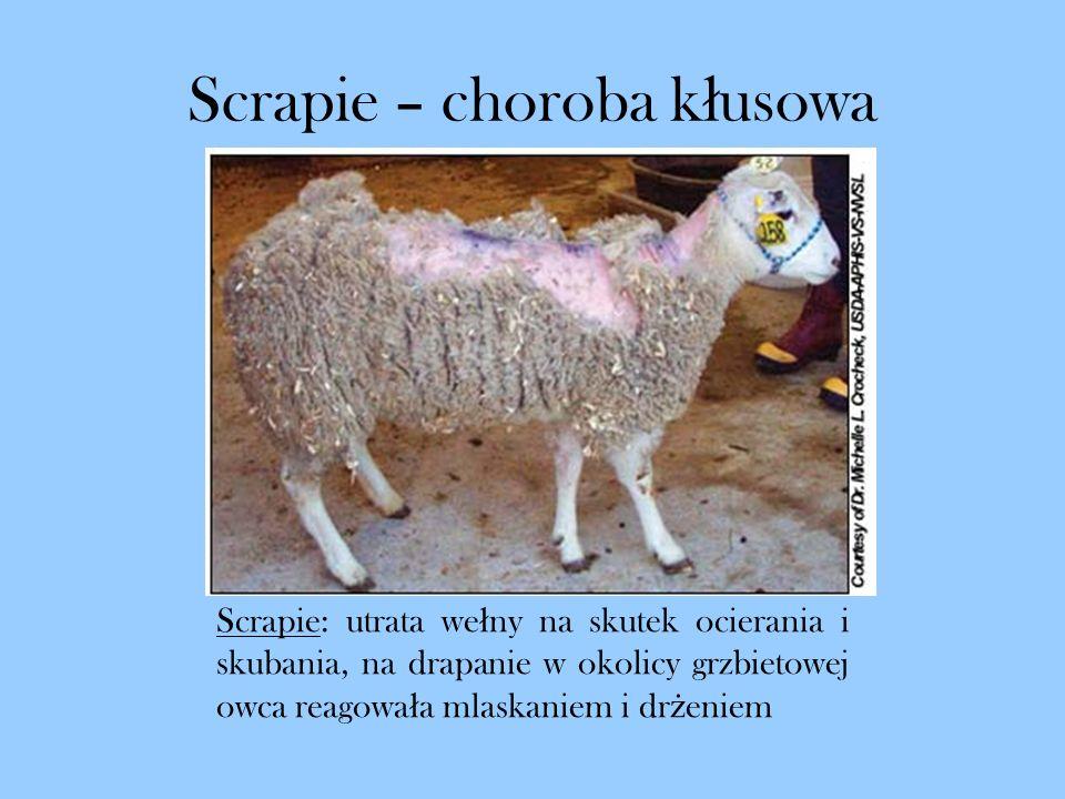 Scrapie – choroba k ł usowa Scrapie: utrata we ł ny na skutek ocierania i skubania, na drapanie w okolicy grzbietowej owca reagowa ł a mlaskaniem i dr
