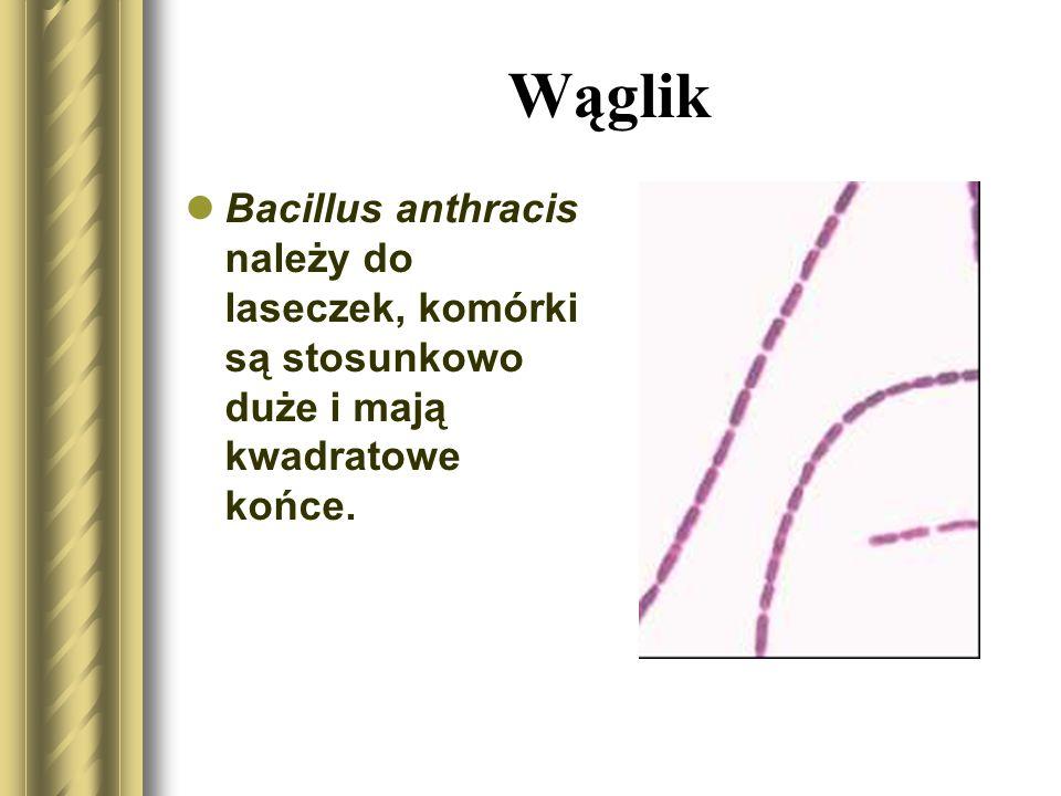 Bacillus anthracis należy do laseczek, komórki są stosunkowo duże i mają kwadratowe końce. Wąglik