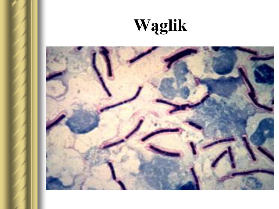 Wąglik wywołuje Gram-dodatnia laseczka Bacillus anthracis.