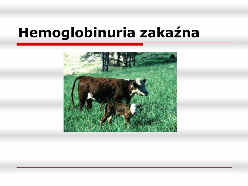 Anaplasma marginale Genus: AnaplasmaGenus Species: marginale Species Strain: St.