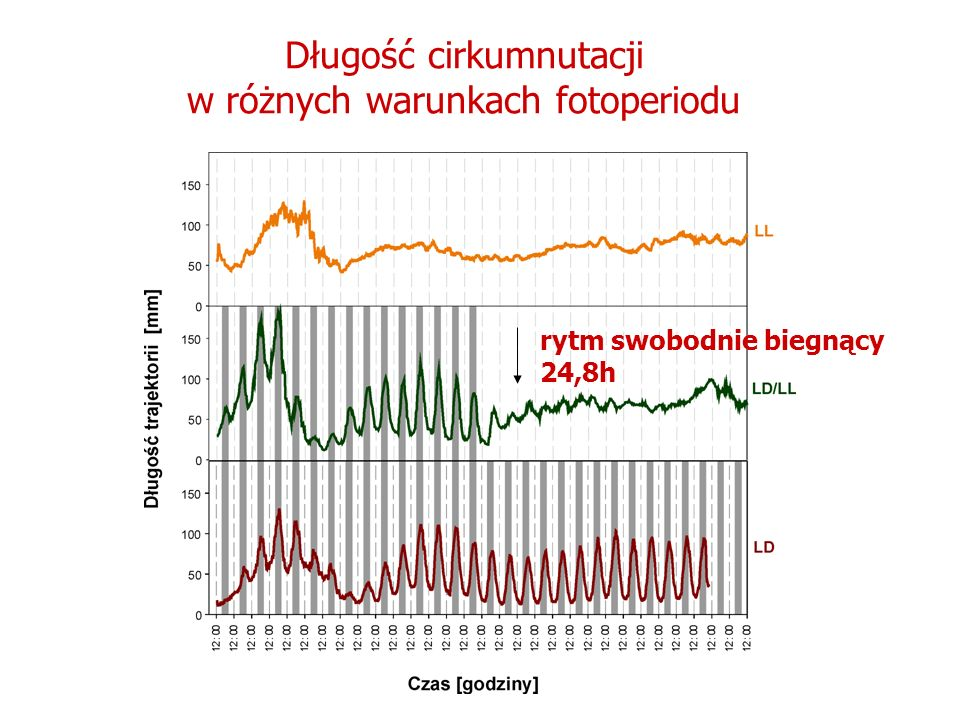 Długość cirkumnutacji w różnych warunkach fotoperiodu rytm swobodnie biegnący 24,8h