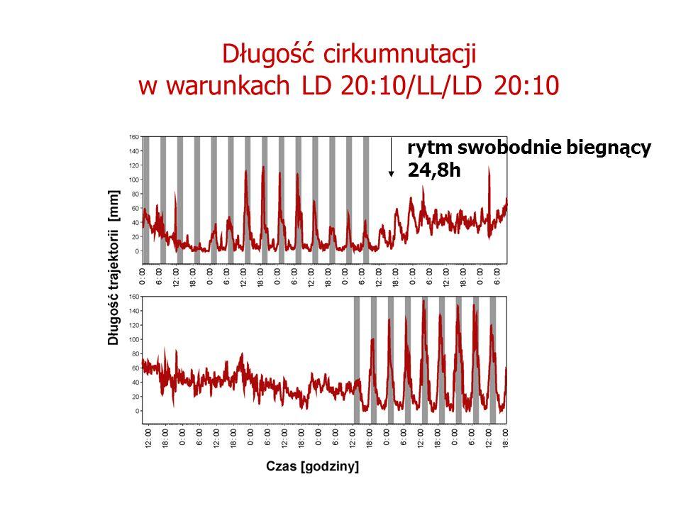 Długość cirkumnutacji w warunkach LD 20:10/LL/LD 20:10 rytm swobodnie biegnący 24,8h