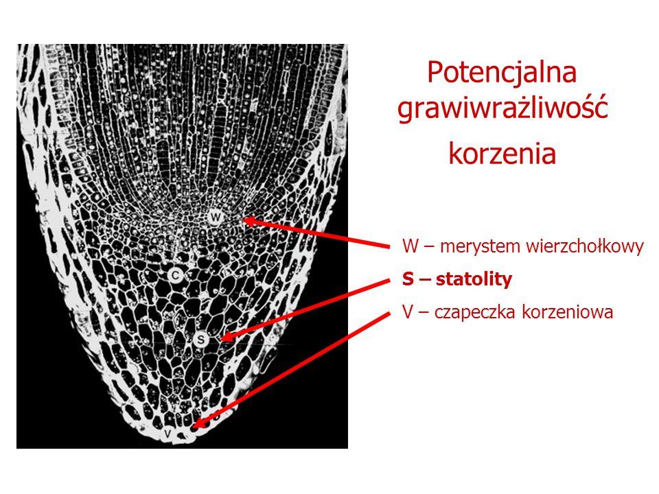 Potencjalna grawiwrażliwość korzenia W – merystem wierzchołkowy S – statolity V – czapeczka korzeniowa