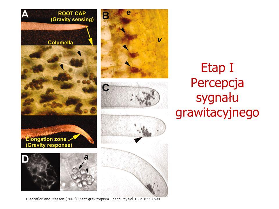 Etap I Percepcja sygnału grawitacyjnego Blancaflor and Masson (2003) Plant gravitropism. Plant Physiol 133:1677-1690