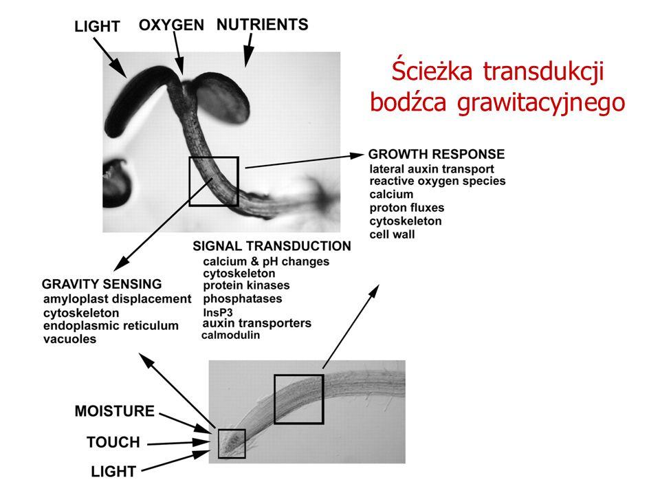 Ścieżka transdukcji bodźca grawitacyjnego