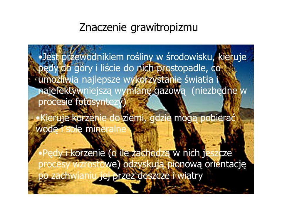 Znaczenie grawitropizmu Pędy i korzenie (o ile zachodzą w nich jeszcze procesy wzrostowe) odzyskują pionową orientację po zachwianiu jej przez deszcze