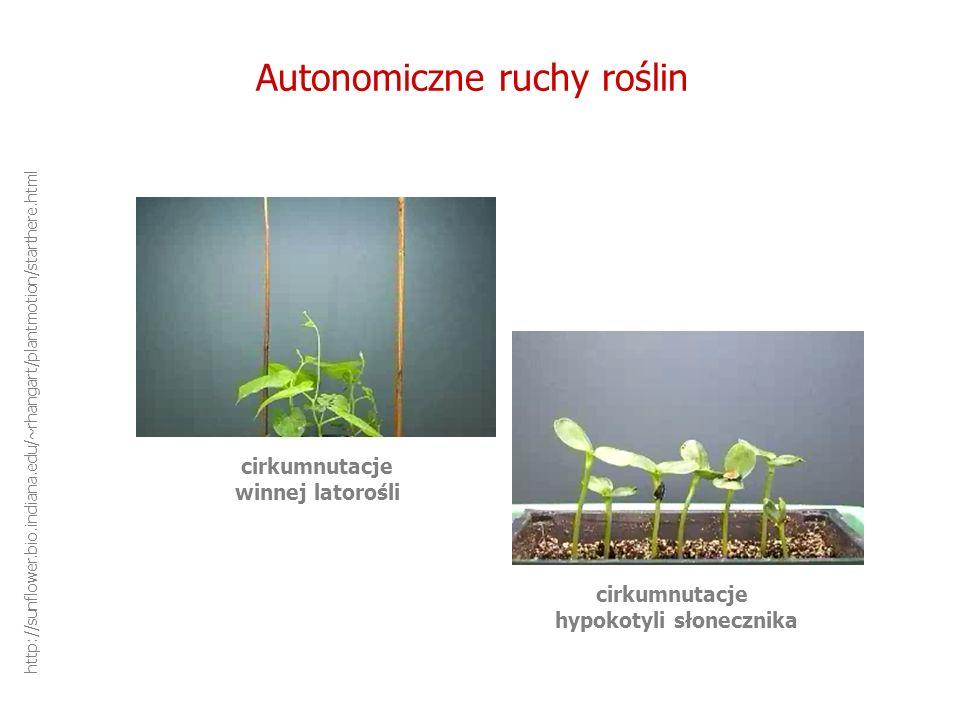Autonomiczne ruchy roślin cirkumnutacje winnej latorośli cirkumnutacje hypokotyli słonecznika http://sunflower.bio.indiana.edu/~rhangart/plantmotion/s