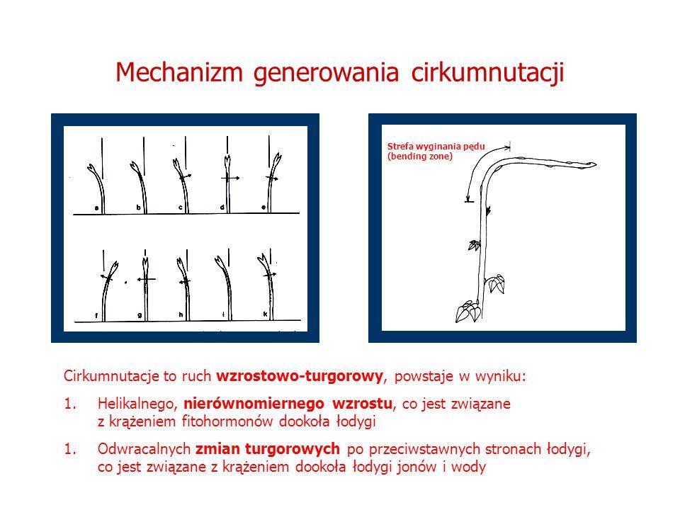 Mechanizm generowania cirkumnutacji Strefa wyginania pędu (bending zone) Cirkumnutacje to ruch wzrostowo-turgorowy, powstaje w wyniku: 1.Helikalnego,