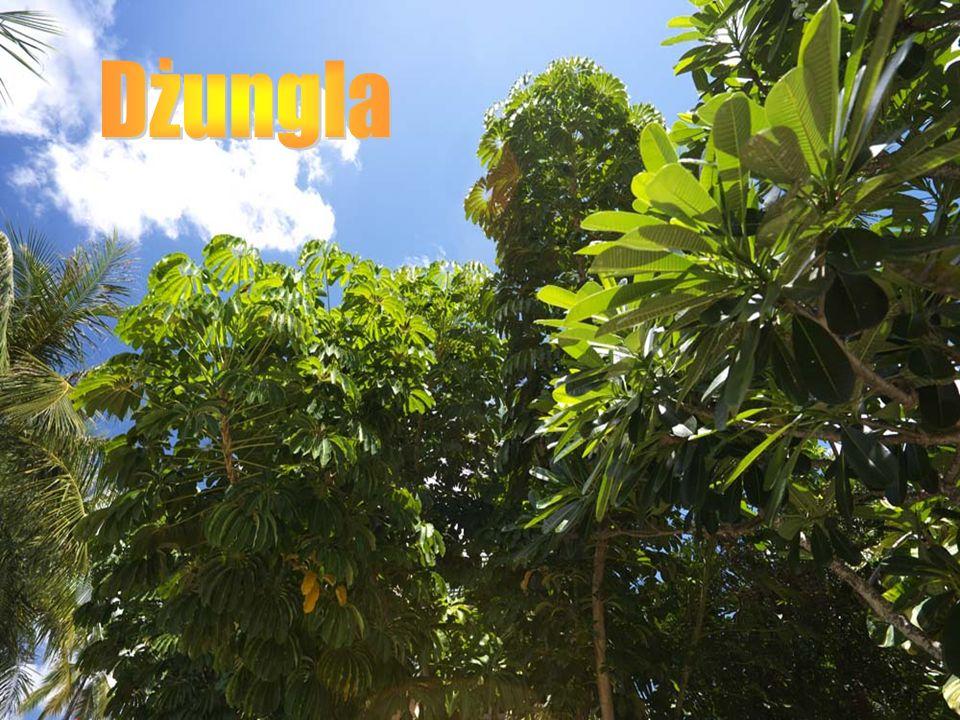 Dżungla to wiecznie zielony, wilgotny las tropikalny, pokrywający rozległe obszary Środkowej i Południowej Ameryki (dorzecze Amazonki), Kotlinę Kongo w Afryce, oraz znaczne terytoria w południowej i południowo- wschodniej Azji wraz z Archipelagiem Malajskim.