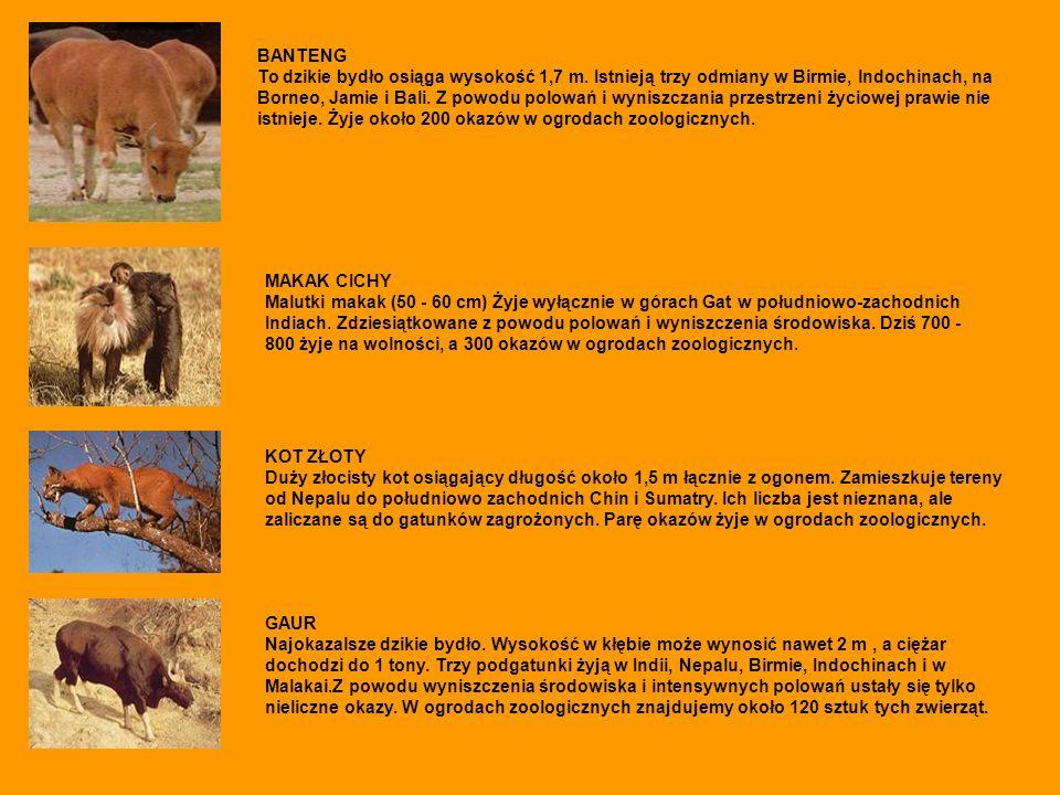 BANTENG To dzikie bydło osiąga wysokość 1,7 m. Istnieją trzy odmiany w Birmie, lndochinach, na Borneo, Jamie i Bali. Z powodu polowań i wyniszczania p