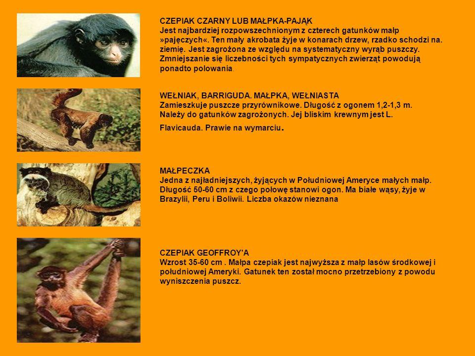 CZEPIAK CZARNY LUB MAŁPKA-PAJĄK Jest najbardziej rozpowszechnionym z czterech gatunków małp »pajęczych«. Ten mały akrobata żyje w konarach drzew, rzad