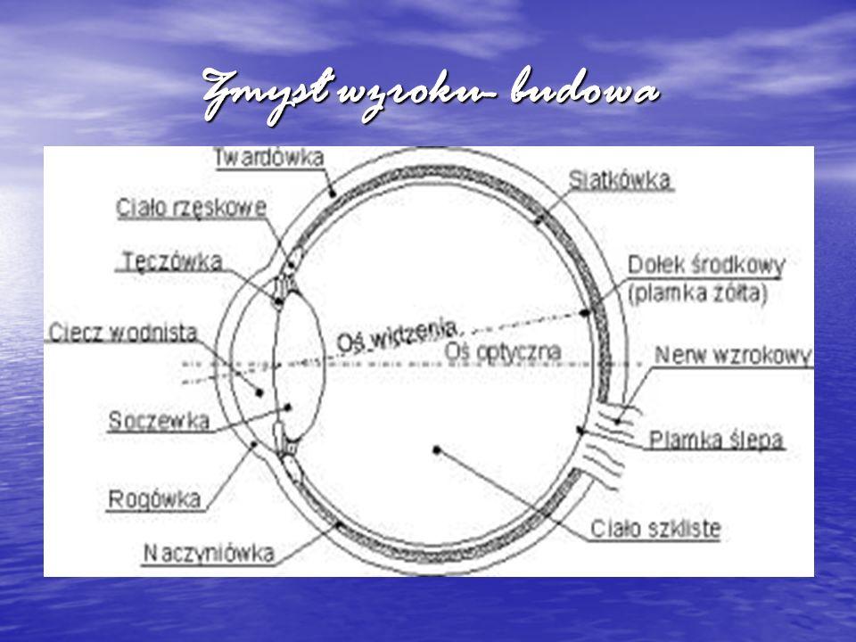 Najbardziej złożonym ze wszystkich organów zmysłów jest narząd wzroku.