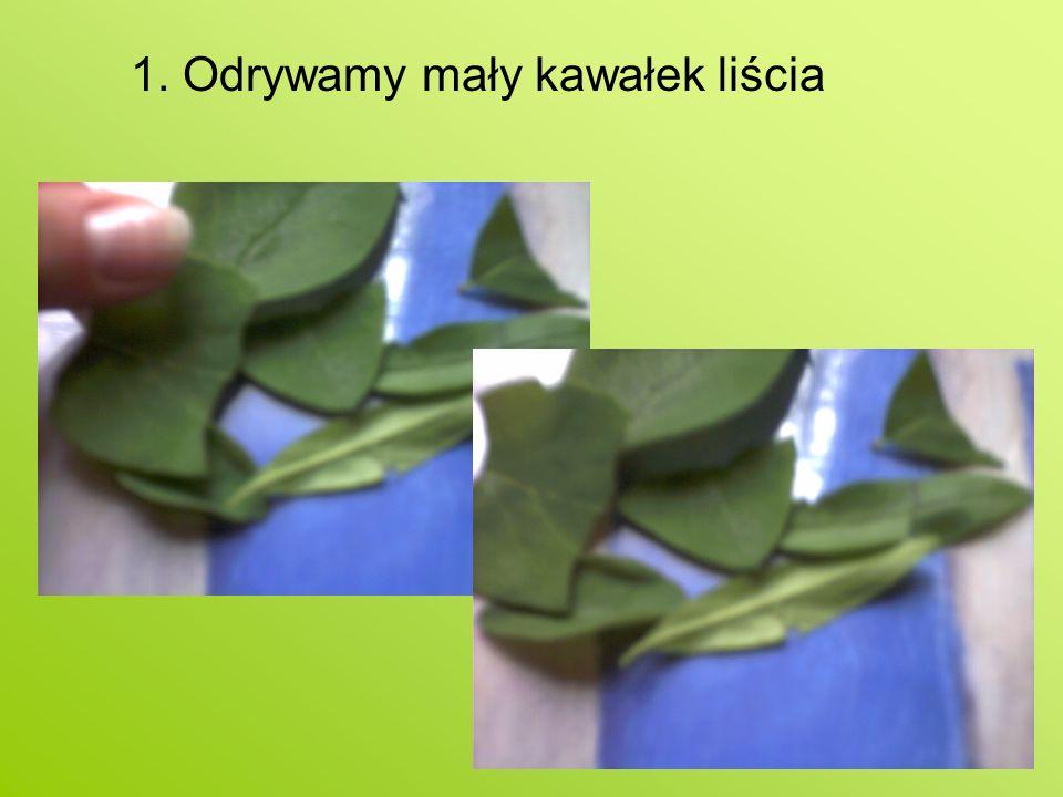 1. Odrywamy mały kawałek liścia