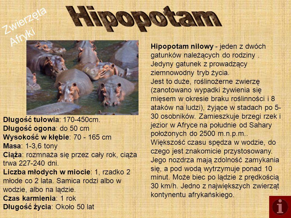 Zwierzęta Afryki Hipopotam nilowy - jeden z dwóch gatunków należących do rodziny. Jedyny gatunek z prowadzący ziemnowodny tryb życia. Jest to duże, ro