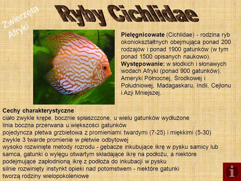 Zwierzęta Afryki Pielęgnicowate (Cichlidae) - rodzina ryb okoniokształtnych obejmująca ponad 200 rodzajów i ponad 1900 gatunków (w tym ponad 1500 opis