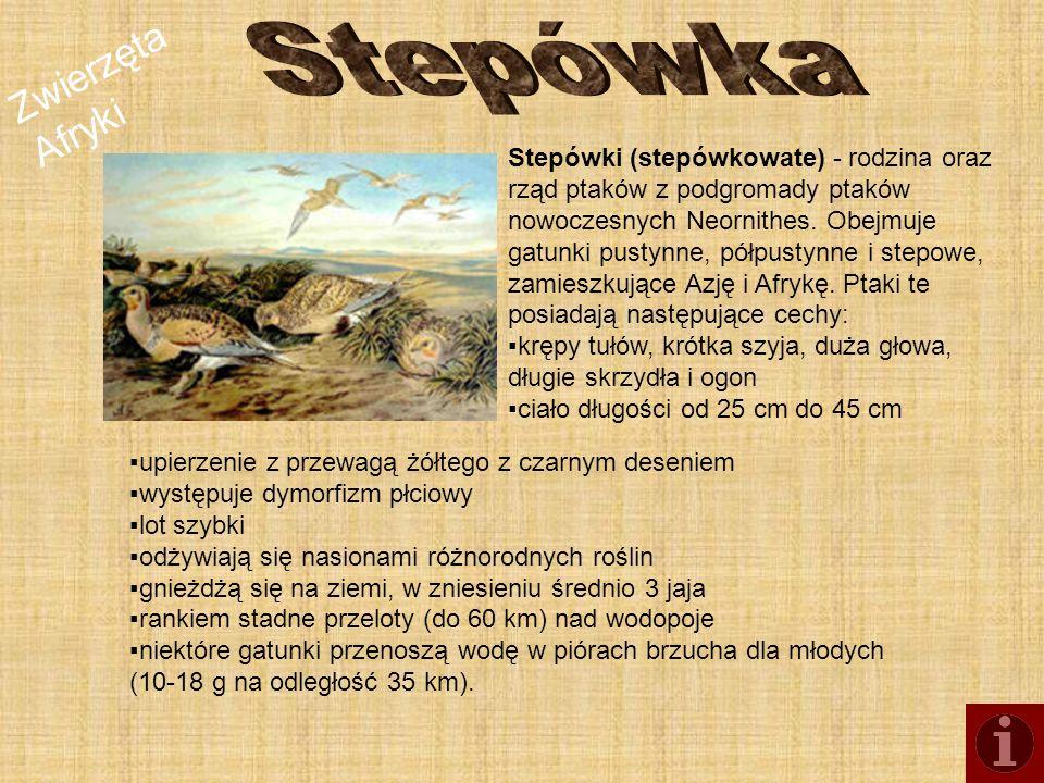 Zwierzęta Afryki Stepówki (stepówkowate) - rodzina oraz rząd ptaków z podgromady ptaków nowoczesnych Neornithes. Obejmuje gatunki pustynne, półpustynn