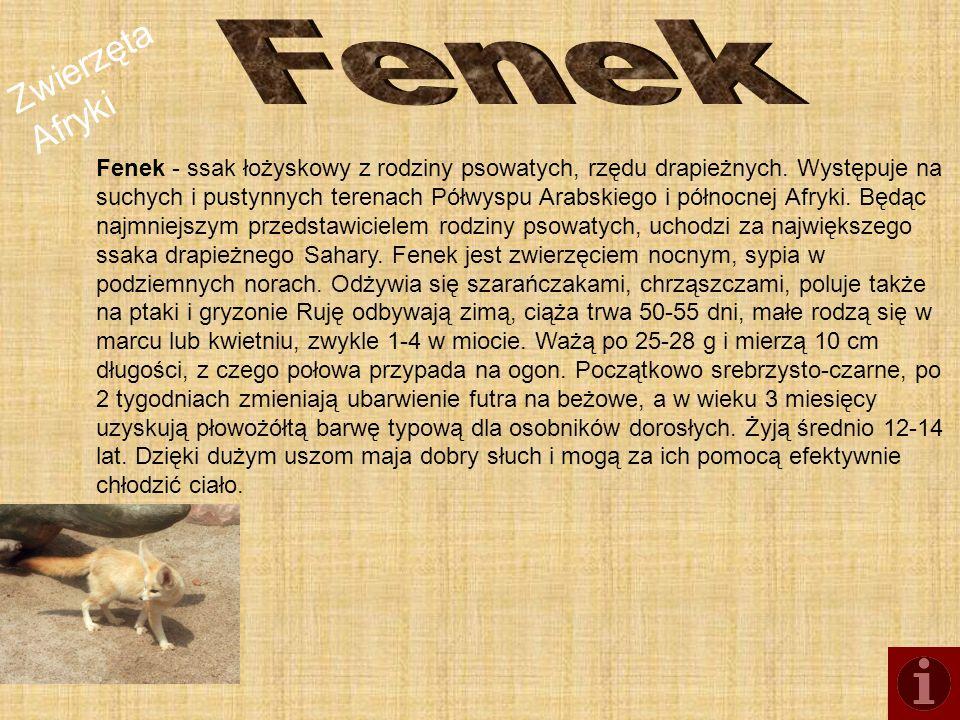 Zwierzęta Afryki Fenek - ssak łożyskowy z rodziny psowatych, rzędu drapieżnych. Występuje na suchych i pustynnych terenach Półwyspu Arabskiego i półno