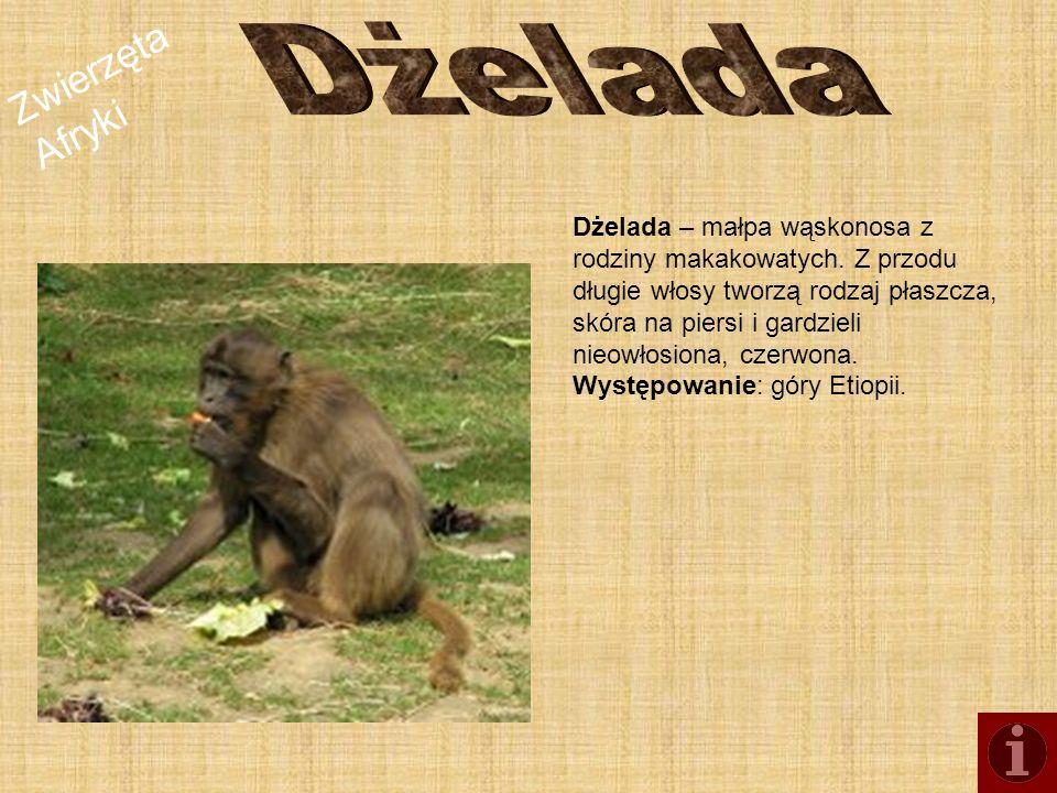 Zwierzęta Afryki Dżelada – małpa wąskonosa z rodziny makakowatych. Z przodu długie włosy tworzą rodzaj płaszcza, skóra na piersi i gardzieli nieowłosi