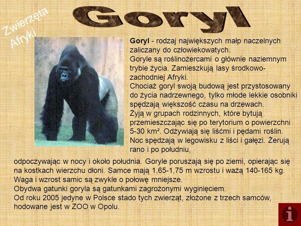 Zwierzęta Afryki Goryl - rodzaj największych małp naczelnych zaliczany do człowiekowatych. Goryle są roślinożercami o głównie naziemnym trybie życia.