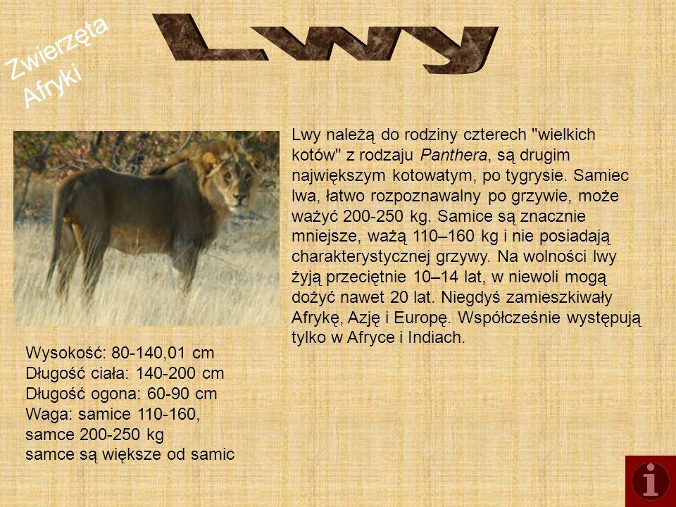 Zwierzęta Afryki Zebra stepowa - gatunek ssaka z rodziny koniowatych, najliczniejszy gatunek zebry.