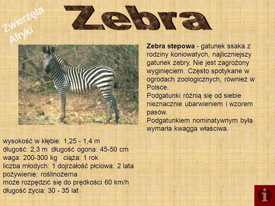 Zwierzęta Afryki Zebra stepowa - gatunek ssaka z rodziny koniowatych, najliczniejszy gatunek zebry. Nie jest zagrożony wyginięciem. Często spotykane w